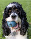 Cocker spaniel with ball.  Closeup. Cocker spaniel dog with ball in his mouth.  Isolated on green grass Royalty Free Stock Images