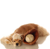 Cocker spaniel and baseball. American cocker spaniel resting after game of baseball Royalty Free Stock Photo