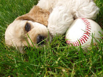 Cocker spaniel with baseball. Spaniel puppy tired out from playing baseball (6 weeks old champion stock Royalty Free Stock Image