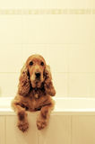 Cocker spaniel in bath. English spaniel cocker taking a rest in the bath tub Royalty Free Stock Photography