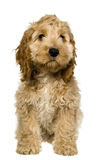 Cocker spaniel with big ears. Is standing and watching stock photography