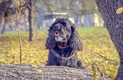 Cocker spaniel. Black American Cocker Spaniel is played in the autumn garden royalty free stock images
