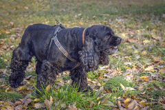 Cocker spaniel. Black American Cocker Spaniel is played in the autumn garden royalty free stock photos