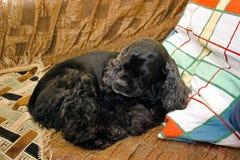Cocker Spaniel. Black Cocker Spaniel resting in the bed stock photography