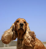 Cocker spaniel in blue sky. Brown cocker spaniel with the clear blue sky as background Stock Photography