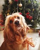 Cocker spaniel with bow at Christmas. Adult cocker spaniel in front of the Christmas tree with a Christmas bow on the neck. Dogs at Christmas stock photography