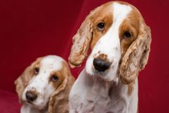 Cocker Spaniel brothers. royalty free stock photo