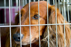 Cocker Spaniel in the cage Stock Photo