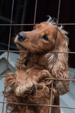 Cocker Spaniel in a cage, looking to the left Royalty Free Stock Photos