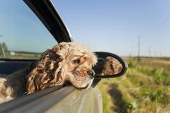 Cocker spaniel in car. Cocker spaniel sad in car stock photo
