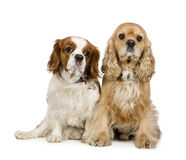Cocker Spaniel and a Cavalier King Charles. Cocker Spaniel (4 years) and a Cavalier King Charles Spaniel (4 years) in front of a white background royalty free stock image