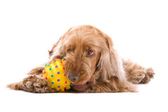 Cocker spaniel chewing ball stock photo
