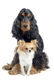Cocker spaniel and chihuahua Stock Image