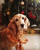 Cocker spaniel on christmas. In front of the christmas tree royalty free stock photos