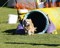 Cocker Spaniel coming out of agility tunnel Royalty Free Stock Photography