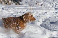 Spaniel in deep snow royalty free stock photo