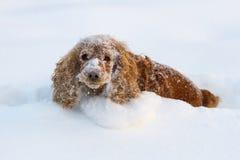 Cocker Spaniel in diepe sneeuw stock fotografie