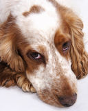 Cocker spaniel dog Royalty Free Stock Image