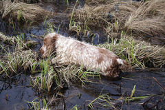 Cocker spaniel dog. English coсker spaniel works in marsh Stock Photo