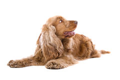 Cocker Spaniel dog. Close up of cute Cocker Spaniel dog looking to side, isolated on white background Stock Photos