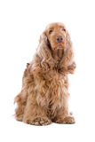 Cocker Spaniel dog Royalty Free Stock Photography