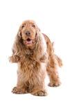 Cocker Spaniel Dog Royalty Free Stock Photography