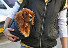 Cocker spaniel dog in the bag. Little cocker spaniel puppy,in the bag of a young woman,walking in the street stock photography