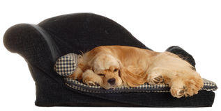 Cocker spaniel in dog bed. Cocker spaniel laying on dog bed isolated on white background Royalty Free Stock Images