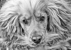 Cocker spaniel dog black and white Stock Images