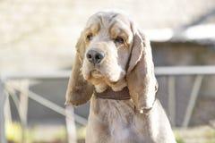 Cocker Spaniel dog breed portrait. Cocker Spaniel dog. The concept of pets. For veterinarians, vet clinics, pet shops stock photo