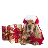 Cocker spaniel dog on christmas isolated on white Royalty Free Stock Images