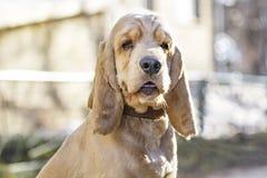 Cocker Spaniel dog breed portrait. Cocker Spaniel dog. The concept of pets. For veterinarians, vet clinics, pet shops royalty free stock photos