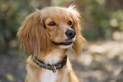 Cocker Spaniel Dog Cute Curious Brown Outdoor Closeup stock photography