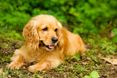 Cocker Spaniel. Dog is a cute  lying down relaxing in nature stock photo