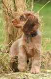 Dog, Cocker Spaniel Royalty Free Stock Photos