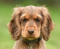 Dog, Cocker Spaniel Stock Photography