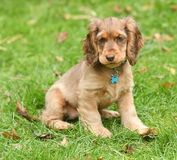 Dog, Cocker Spaniel Stock Images