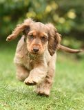 Dog, Cocker Spaniel Stock Photos