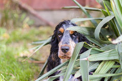 Cocker spaniel dog looking out of bush. Cocker spaniel dog curiously looking out of  green bush. Blurred background Stock Image