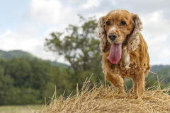 Cocker spaniel dog looking at you Royalty Free Stock Photo