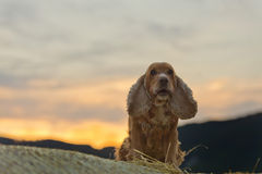 Cocker spaniel dog looking at you at sunset Stock Images