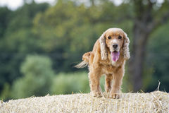 Cocker spaniel dog looking at you at sunset Stock Photos