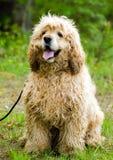 Cocker Spaniel dog. Needs grooming, matted, outdoor pet photography, humane society adoption photo, Walton County Animal Shelter, Georgia royalty free stock image