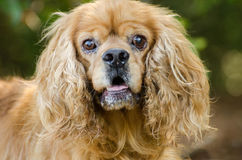 Cocker Spaniel dog royalty free stock images
