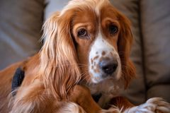Cocker Spaniel dog pet in an apartment indoor setting Royalty Free Stock Photo