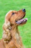 Cocker spaniel dog portrait Stock Images