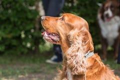 Cocker spaniel dog. Portrait of cocker spaniel dog living in belgium stock image