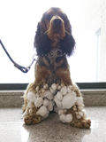 Cocker spaniel dog Stock Images