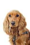 Cocker spaniel dog portrait Royalty Free Stock Images