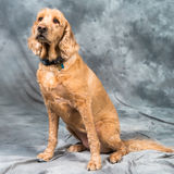 Cocker spaniel dog sitting on grey background Royalty Free Stock Image